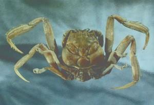 Heikeani crab